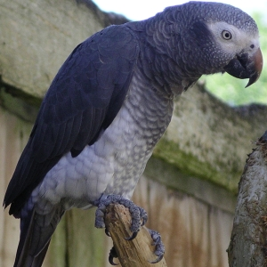 african-grey_timneh