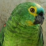 amazon_blue-fronted