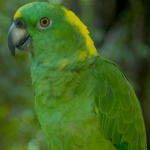 amazon_yellow-naped