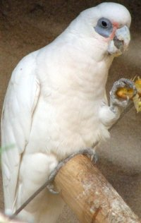 bare-eyed-cockatoo