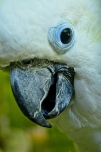 blue-eyed-cockatoo