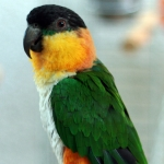 caique black-headed