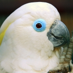 cockatoo_blue-eyed