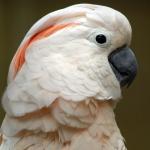 cockatoo_moluccan