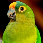 conure_peach-fronted
