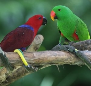 the active eclectus parrot is a wonderful companion
