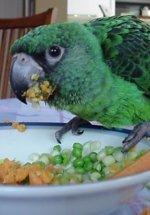 parrot diet