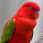 lory_chattering
