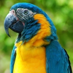macaw_blue-throated