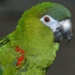 macaw_hahns