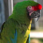 macaw_military