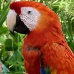 macaw_scarlet