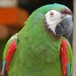 macaw_severe