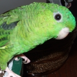 parakeet_lineolated