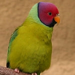 parakeet_plum-headed