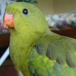 parakeet_regent