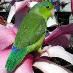 parrotlet_pacific