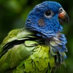pionus parrot blue-headed