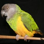 poicephalus brown-headed (6)