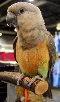red-bellied-parrot