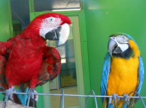 All About Macaw Parrots