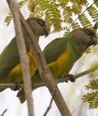 senegal-parrot