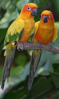 sun-conure-parrot