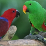 types_eclectus