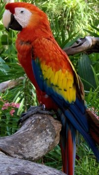 scarlet-macaw-parrot