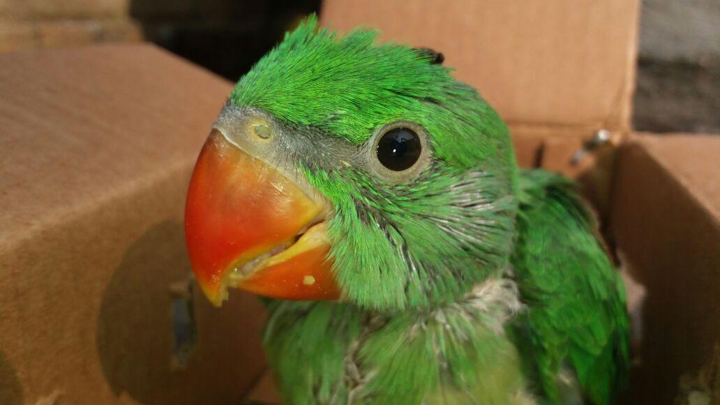 The Intelligent Alexandrine Parrot / Alexandrine Parakeet