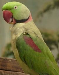 alexandrine parrot