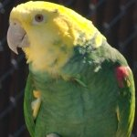 amazon_double-yellow-headed
