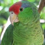 amazon_mexican-red-headed