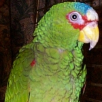 amazon_white-fronted