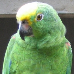 amazon_yellow-crowned