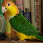 caique_white-bellied