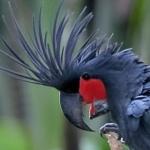 cockatoo_palm