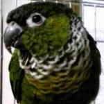 Black-Capped Conure