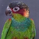 conure_blue-throated