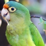 Orange-Fronted Conure
