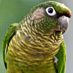 conure_maroon-bellied