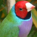 finches_gouldian