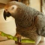 parrot food