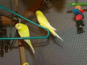identical-budgies-21670388