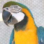 macaw_blue-and-gold