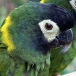 macaw_golden-collared
