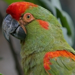 macaw_red-fronted