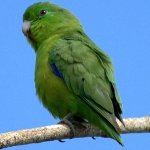 parrotlet_blue-winged