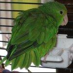 Green-Rumped