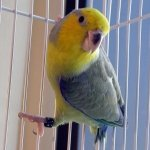 parrotlet_yellow-faced